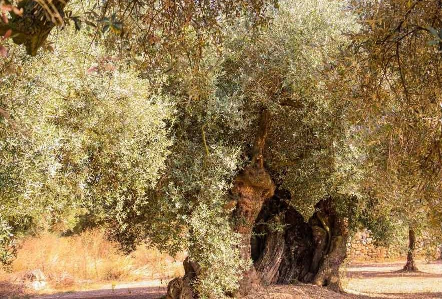 olive tree 1800 years old farga