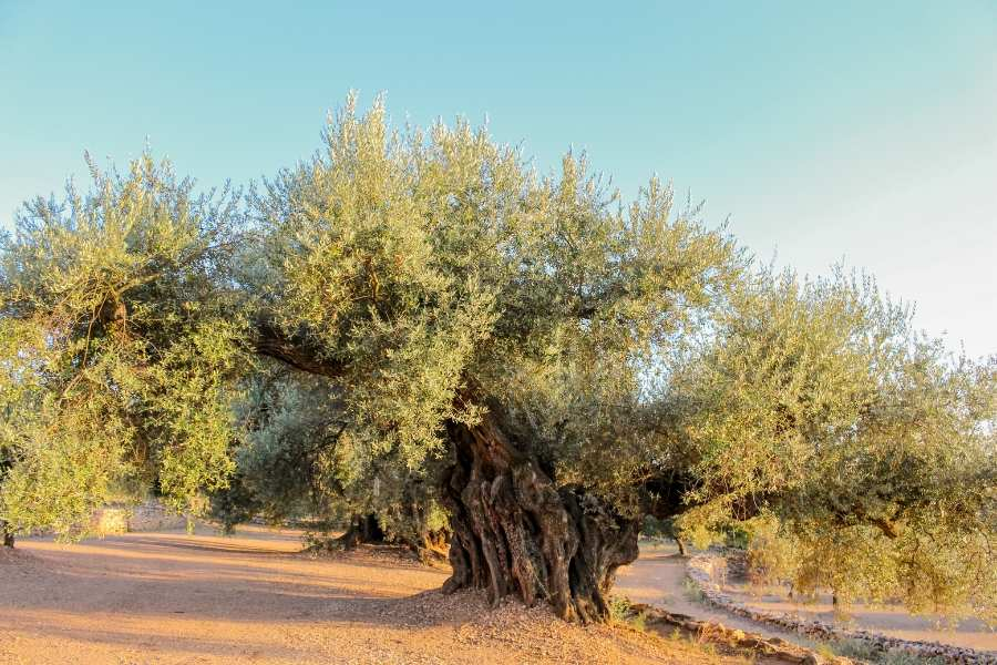 olive tree 2000 years old farga variety