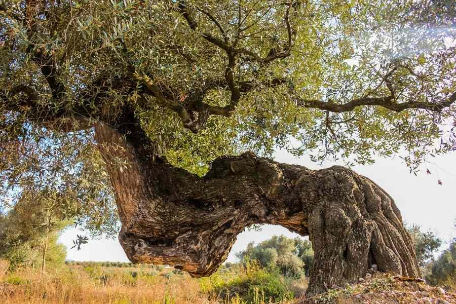 ancient olive tree farga