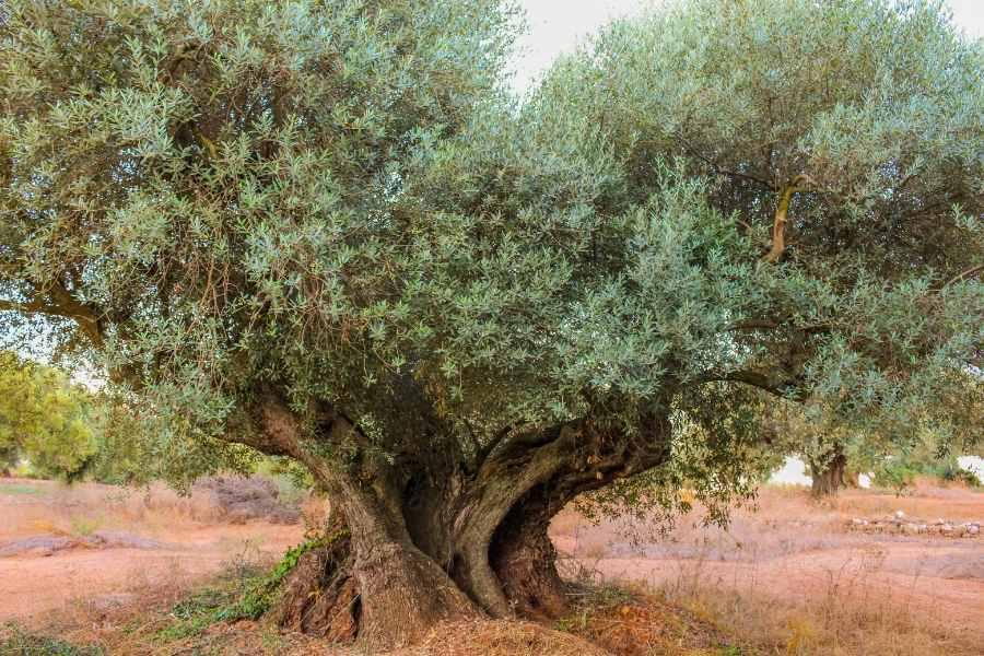 Farga old olive tree