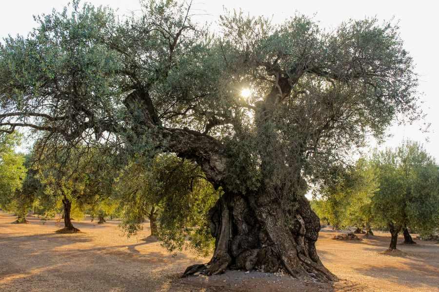millennial olive tree oleomile