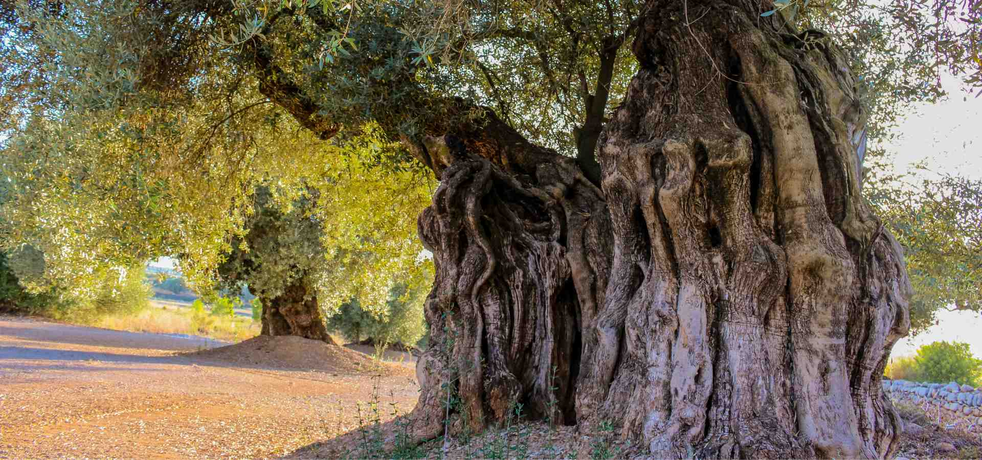 ancient olive trees 2000 years old farga