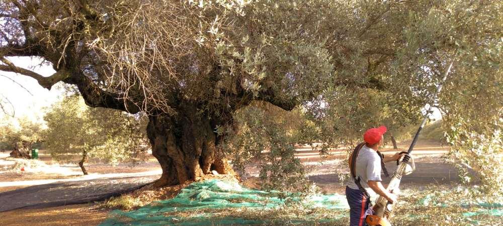 Farga olive harvesting