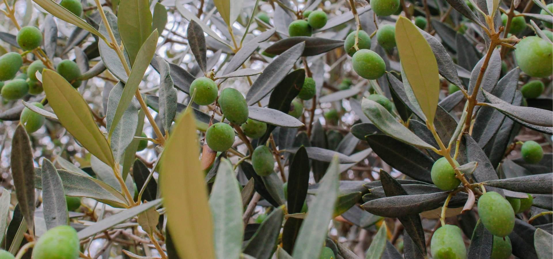 olives farga variety