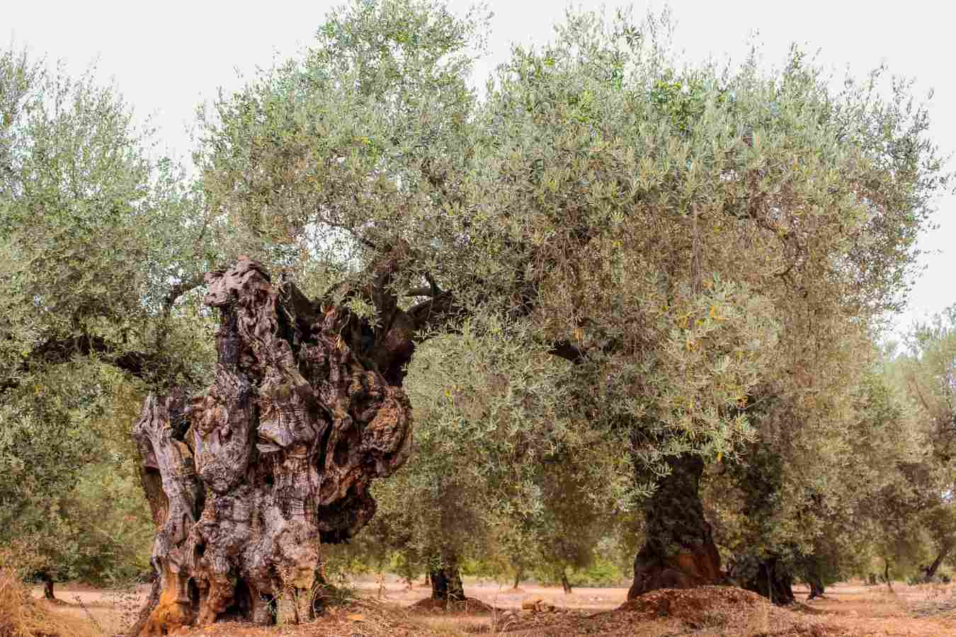 olive trees farga dispersion